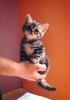 kittenhand